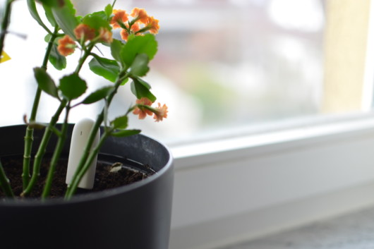 Bodenfeuchtesensor Xiaomi Flower-Care mit Blume